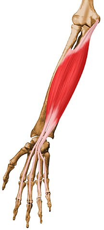 flexor-digitorum-superficialis.jpg