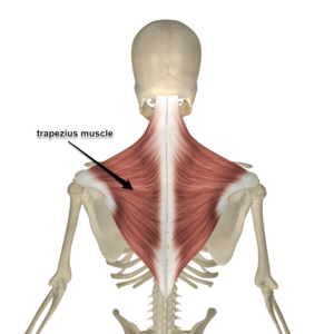 trapezius-muscle-300x300.png