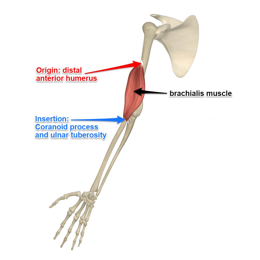 Brachialis-muscle.png