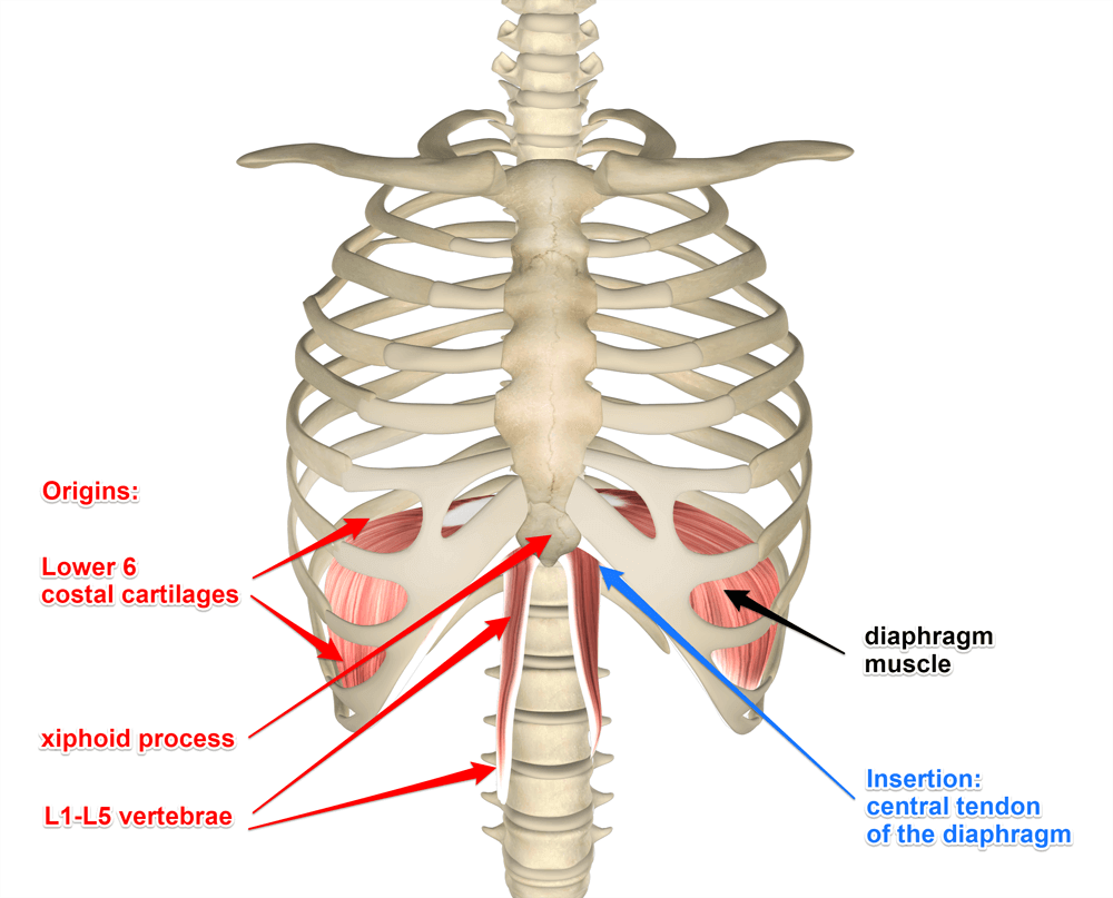 diaphragm-attachments.png